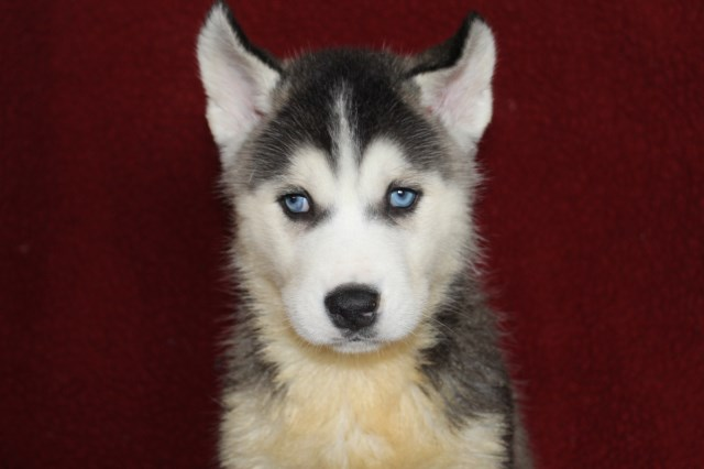 Siberian Husky Puppy Dog For Sale In Findlay Illinois