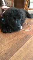 Gorgeous Black AKC Newfoundland Newfoundland Dog for sale/adoption