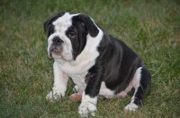 AKC Color Carrier Males - English Bulldog Pups English Bulldog for sale/adoption