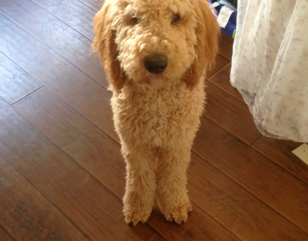 Labradoodle puppy dog for sale in Sacramento, California