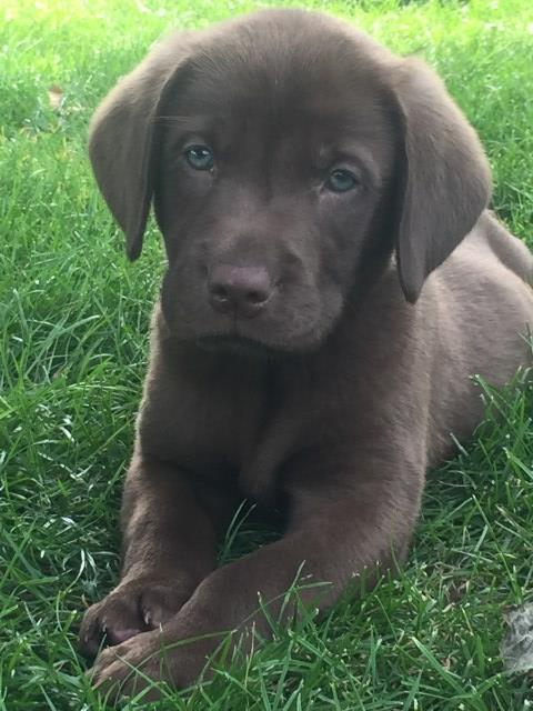 Labrador Retriever Puppy Dog For Sale In Strasburg Ohio