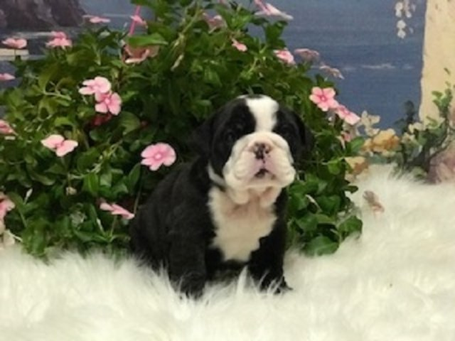 English Bulldog puppy for sale + 58305