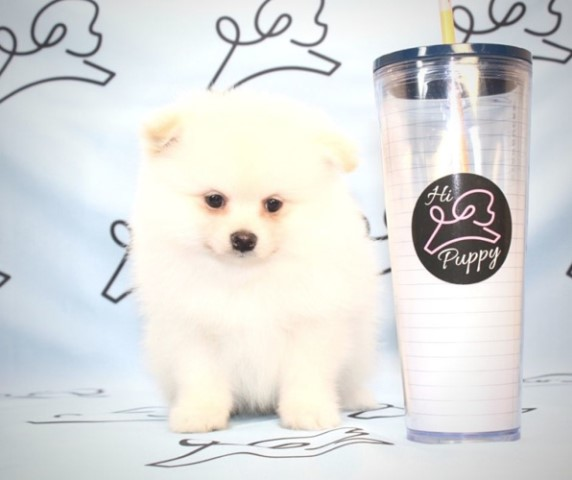 Pomeranian puppy for sale + 61409