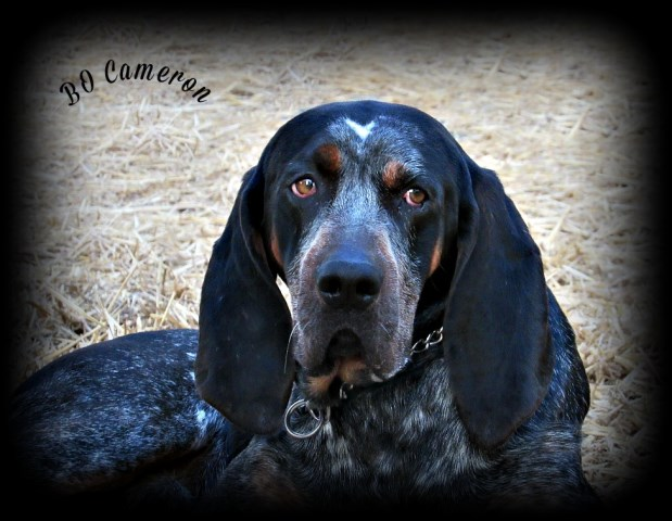 Bluetick Coonhound Puppy Dog For Sale In Pipestem West