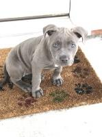 Blue Pitbull puppy American Pit Bull Terrier for sale/adoption