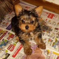 Baby Doll Face Yorkie -Male Yorkshire Terrier for sale/adoption
