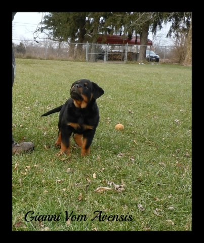 By Photo Congress || Rottweiler Puppies For Sale In Dayton Ohio