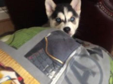Siberian Husky Puppy Dog For Sale In Dallas Texas