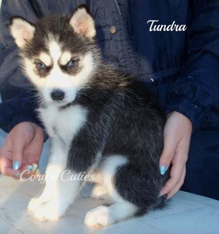 Siberian Husky puppy for sale + 48302