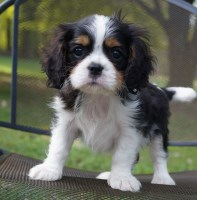 Tri Male ...grand Champion Sired Cavalier King Charles Spaniel for sale/adoption