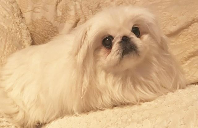Pekingese Puppy Dog For Sale In Tulsa Oklahoma