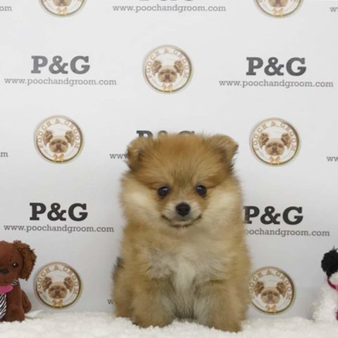 Pomeranian puppy for sale + 53334