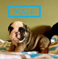 akc reg english bulldogs English Bulldog for sale/adoption