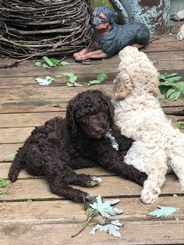 Poodle Standard puppy for sale + 53167