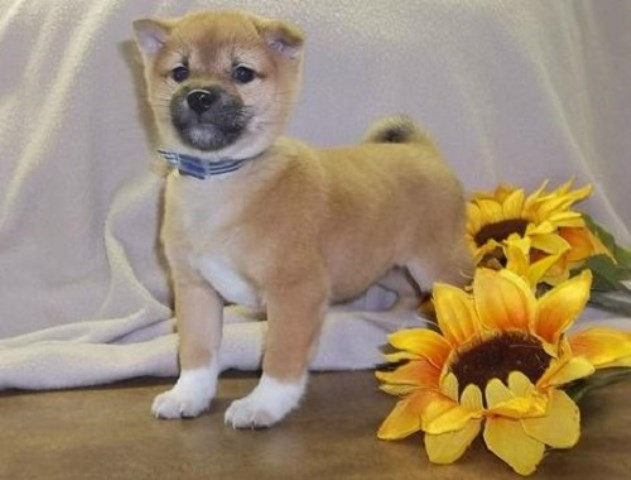 Shiba Inu Puppy Dog For Sale In San Antonio Tx Texas