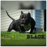 2 males available and 1 female available off (o.g black haze x tank's aries) American Pit Bull Terrier for sale/adoption