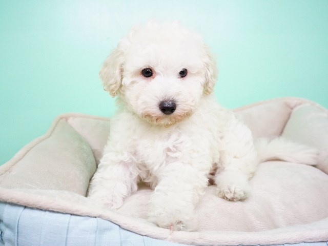 Maltipoo puppy for sale + 54834