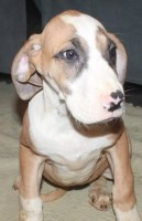 Great Danes and Saint Danes for sale Great Dane for sale/adoption
