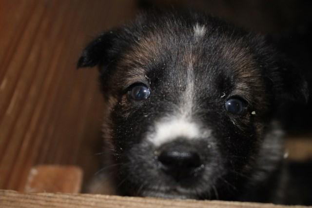 German Shepherd Dog Puppy Dog For Sale In Cheney Washington