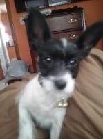 ChiPoo 5 months old to be rehomed to a great home Chihuahua for sale/adoption