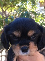 Cavalier King Charles Spaniel Puppy for Sale Cavalier King Charles Spaniel for sale/adoption