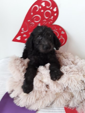 Labradoodle Puppy Dog For Sale In Chicago Illinois
