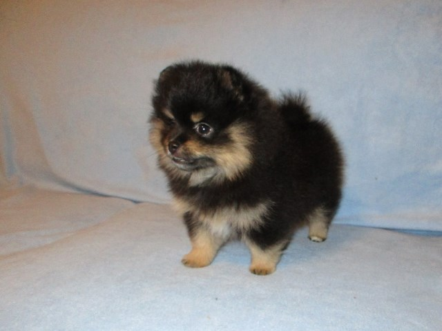Pomeranian Puppy Dog For Sale In Morehead Kentucky