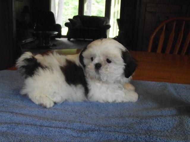 Shih Tzu Puppy Dog For Sale In Roscommon Michigan