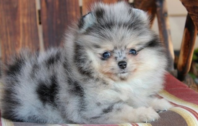 Pomeranian Puppy Dog For Sale In Dallas Texas