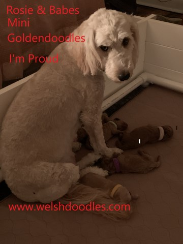 Goldendoodle puppy for sale + 60045