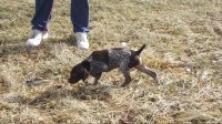 Top GSPCA Hall of Fame AKC close working lines German Shorthaired Pointer for sale/adoption