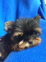 T-Cup Baby-Doll Face Male Yorkie Yorkshire Terrier for sale/adoption