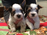 Yorkshire Terrier (Yorkie) for sale