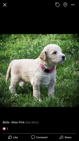 Goldendoodle puppy for sale + 56385