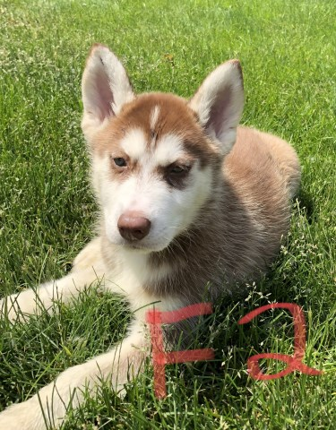 Siberian Husky Puppy Dog For Sale In Chesterfield Michigan