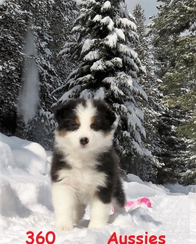 Australian Shepherd Dog puppy for sale + 48728