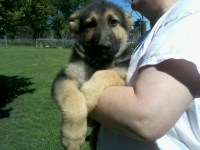 German Shepherd AKC German Shepherd Dog for sale/adoption