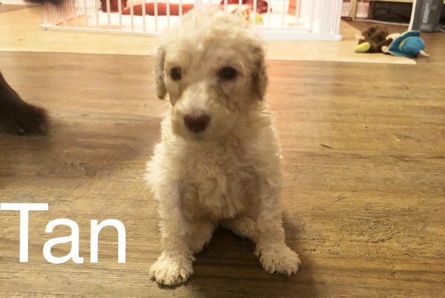 Labradoodle Puppy Dog For Sale In White Pigeon Michigan