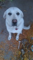 Lab/Great Pyrenees Great Pyrenees for sale/adoption