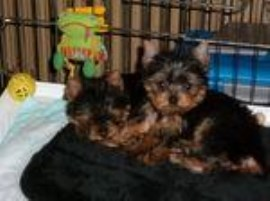 Yorkshire Terrier puppy for sale + 55815