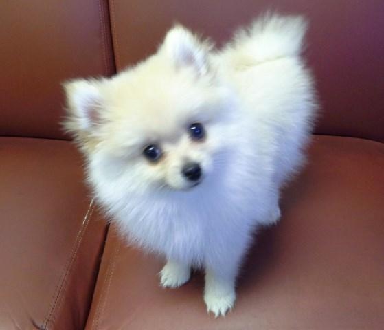 Morkie Puppy Dog For Sale In St Gabriel Louisiana