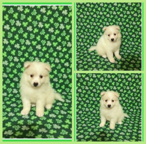 American Eskimo Dog puppy dog for sale in Clarksville, Tennessee
