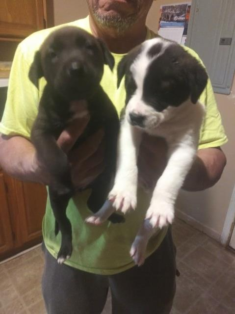 American Pit Bull Terrier puppy for sale + 59640