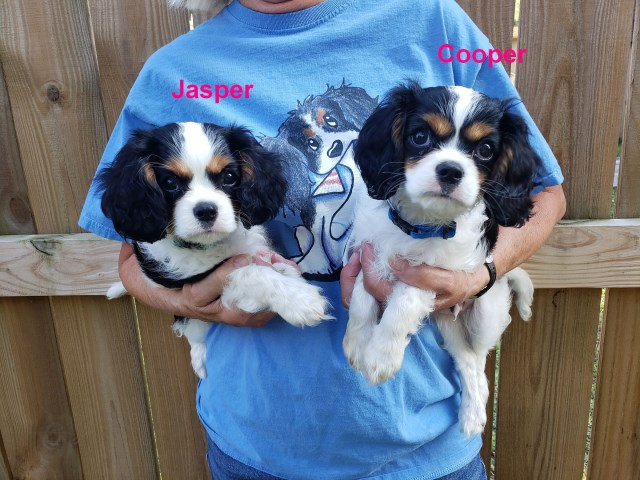 Cavalier King Charles Spaniel Puppies ~ AKC ~