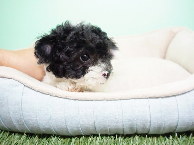 Maltipoo puppy for sale + 54457