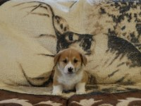 Pembroke Welsh Corgi Dogs and Puppies for Adoption