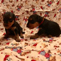 AKC Airedale Terrier Puppies Airedale Terrier for sale/adoption