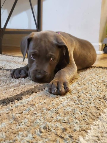 Great Dane puppy dog for sale in gloucester, Virginia
