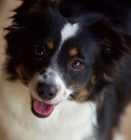 Miniature Australian Shepherd Puppy Dog For Sale In Austin Texas