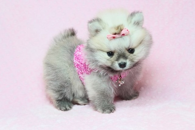 Tiny and Cute Teddy Bear Pomeranians for Sale in Las Vegas! Financing and Shipping Available!
